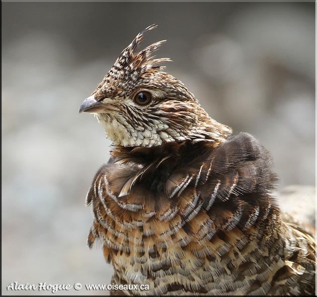 Oiseaux en Liberté, photographies d'oiseaux par Alain Hogue